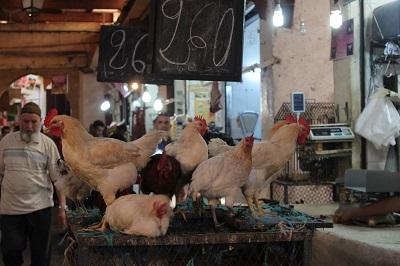 Prettiest chickens in Fes