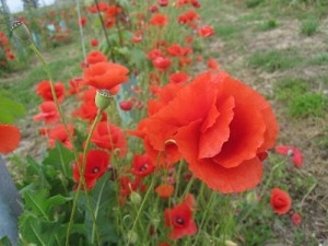 Wild poppies